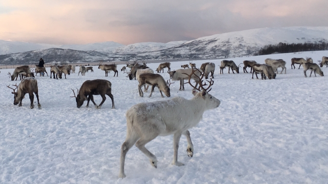 My best friends in Tromso: 200 hungry reindeers