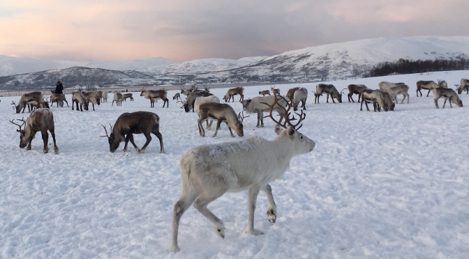 My best friends in Tromso: 200 reindeers