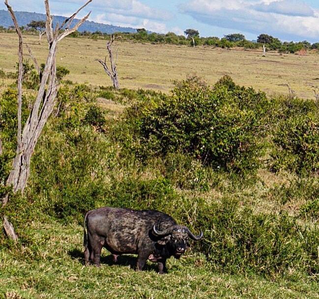 Maasai Mara buffalo, safari, Kenya